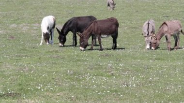 Donkeys on pasture — Wideo stockowe
