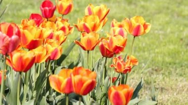 Tulip flower spring scene — Stock Video