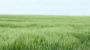 Wind blowing across a field of barley — Stock Video