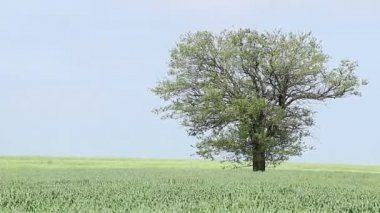 Field with green wheat and tree — Stock Video