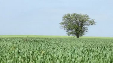 Green wheat and tree landscape — Vídeo de stock