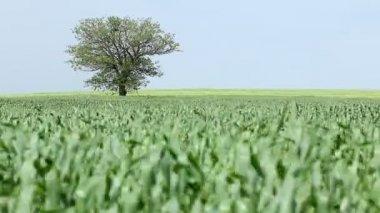 Tree and green wheat field — Stock Video