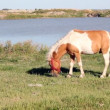 Pony horse on pasture — Stock Video #56827881