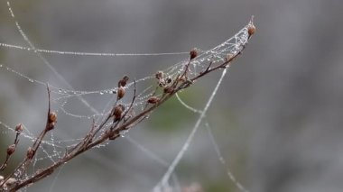 Branch with spider cobweb and dew drops on wind — Stock Video