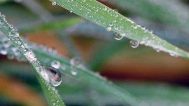 Dew drops on grass macro — Stock Video