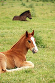 Two foals lying on meadow — Stock Photo
