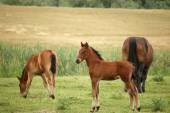 Foal and horses on pasture — Stock Photo