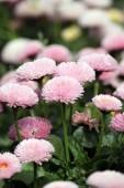 Daisy flower garden spring season — Stock Photo