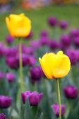 Tulip flowers garden spring season — Stock Photo