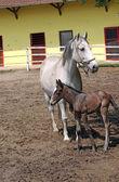 Lipizzaner Pferde und Fohlen auf ranch — Stockfoto