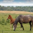 Horse and foal on pasture — Stock Photo #69603661