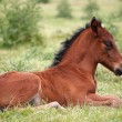 Cute brown foal lying on grass — Stock Photo #70467551