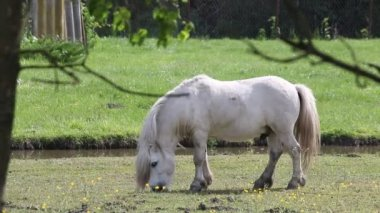 White pony horse grazing — Stock Video