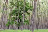 Green forest trees and foliage summer — Stock Photo