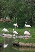 Flock of flamingos standing in water near trees — Stock Photo