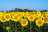Green field of sunflowers and blue sky — Stock Photo