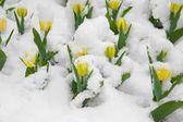 Gula tulpaner är i snön — Stockfoto