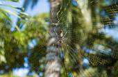 Golden Orb-weaver Spider — Stock Photo