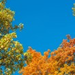 Colorful yellow autumn foliage against a blue sky — Stock Photo #55623027