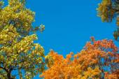 Colorful yellow autumn foliage against a blue sky — Foto Stock