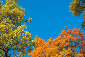 Colorful yellow autumn foliage against a blue sky — Stok fotoğraf