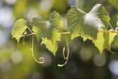leaves of a vine in a vineyard on  blue sky — Stock Photo