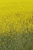 Yellow rape — Stock Photo
