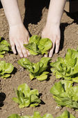 Planting lettuce in the garden   — Stock Photo