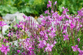 Flowering rosemary (ledum) — Foto de Stock