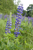 Lupin flowers (genus Lupinus) — Stock Photo