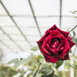 Single red rose in garden under wood architecture in Spring — Stock Photo #68352959