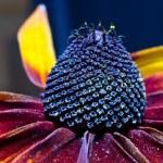Flower Rudbeckia — Stock Photo #52902149