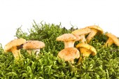 Cantharellus — Stock Photo