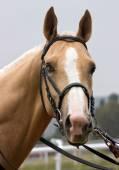 Portrait of akhal-teke horse. — Stock Photo