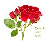 Rote rose auf weißem hintergrund — Stockfoto