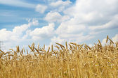 Rye on a background of clouds — Stock Photo