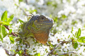 Iguana resting in the branches of a flowering cherry tree. Close — Stock Photo