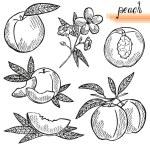 Peach fruits set — Stock Vector #62152001