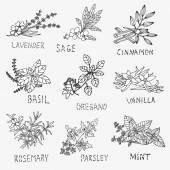 Hand drawn culinary herbs — Stock Vector