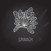 Hand drawn spinach — Stock Vector