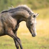 Beautiful Welsh pony, foal 3 weeks old — Stock Photo