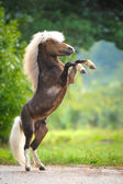 American Miniature Horse rearing up — Stock Photo