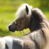 American Miniature Horse, portrait in summer — Zdjęcie stockowe