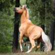 Palomino horse is rearing up in the forest — Stock Photo #52052783