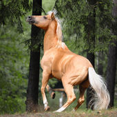 Palomino horse is rearing up in the forest — Stock Photo