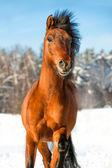 Bay horse in winter — Stock Photo