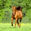 Golden red horse runs trot in summer time — Stock Photo #70305535