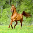 Golden red horse runs trot in summer time — Stock Photo #70305945