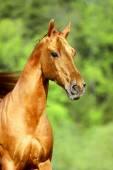 Golden red horse portrait — Stock Photo