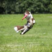 Frisbee dog — Stock Photo